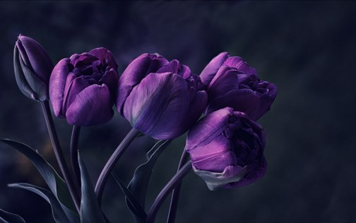 tulip-petals-purple-wallpaper-1